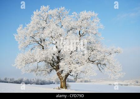 Oak tree, near Villingen-Schwenningen,,Forest-Baar (Schwarzwald-Baar) district, Baden-Wurttemberg, Germany, Europe - Stock Photo