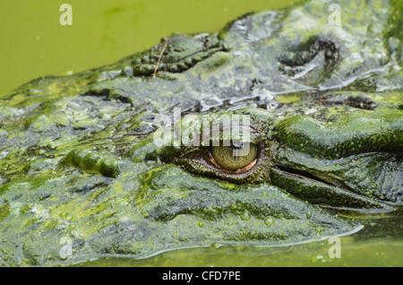 Saltwater (estuarine) crocodile (Crocodylus porosus), Sarawak, Borneo, Malaysia, Southeast Asia, Asia - Stock Photo