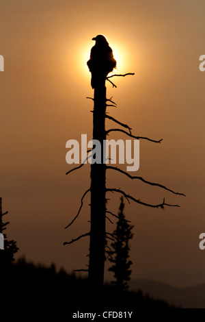 Common Raven (Corvus corax) silhouetted on dead tree. Manning Provincial Park, British Columbia, Canada - Stock Photo