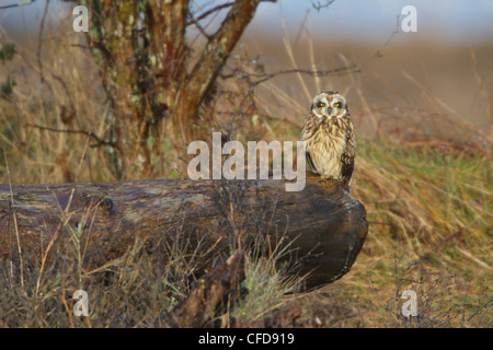Short-eared Owl (Asio flammeus) perched on a branch at the Nanaimo River Estuary, BC, Canada. - Stock Photo