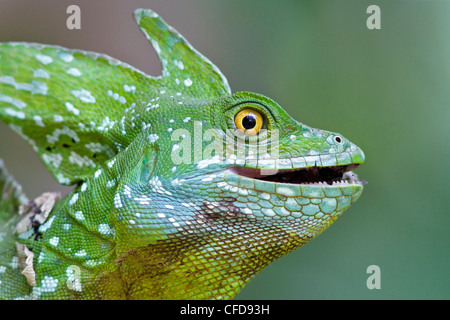 plumed basilisk, Basiliscus plumifrons, eating an insect in Costa Rica. - Stock Photo