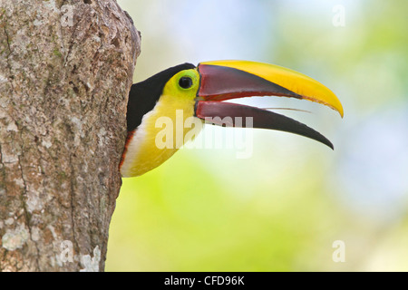 Chestnut-mandibled Toucan (Ramphastos swainsonii) perched on a branch in Costa Rica. - Stock Photo