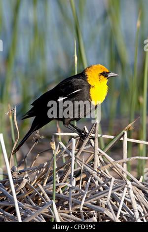 Male yellow-headed blackbird (Xanthocephalus xanthocephalus), Bear River Migratory Bird Refuge, Utah, United States - Stock Photo
