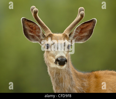 Mule deer (Odocoileus hemionus) buck in velvet, Jasper National Park, Alberta, Canada, - Stock Photo