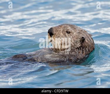 Sea otter (Enhydra lutris) on its back, Homer, Alaska, United States of America,