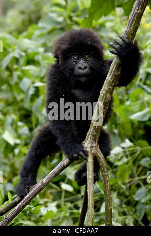 Infant mountain gorilla (Gorilla gorilla beringei) from the Kwitonda group climbing a vine, Volcanoes National Park, - Stock Photo