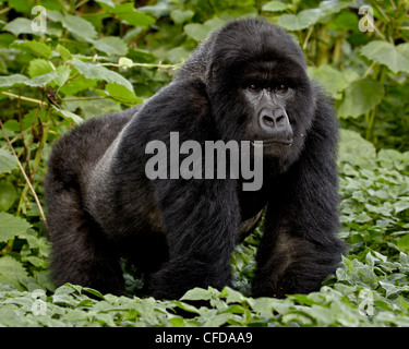 Mountain gorilla (Gorilla gorilla beringei) silverback of the Umubano group named Charles, Volcanoes National Park, - Stock Photo