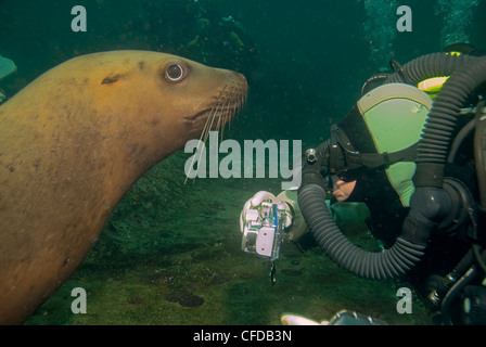 diver gets up close personal look  Steller's - Stock Photo
