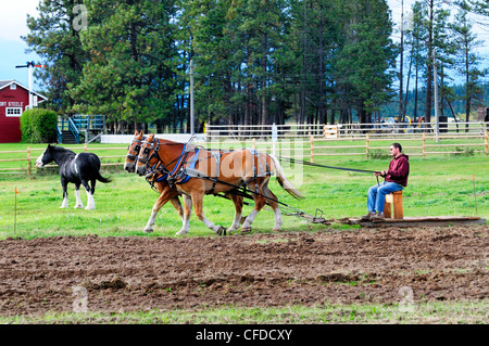 Man controls a team of Belgian horses as they plow a field at Fort Steele near Cranbrook, British Columbia, Canada - Stock Photo
