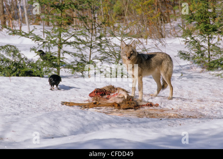 Eastern Canadian Wolf Canis lycaon feeding - Stock Photo