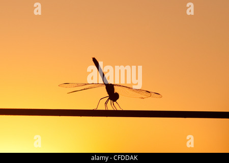 Dragonfly settling on a wire fence at sunset, Southwestern Brazil, South America - Stock Photo