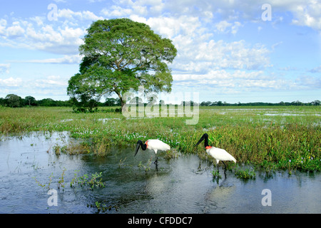 Adult jabiru stork (Jabiru mycteria), Pantanal wetlands, Southwestern Brazil, South America - Stock Photo