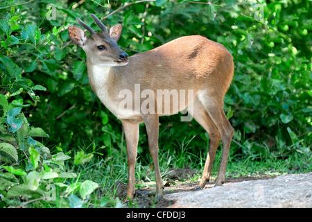 Red brocket deer (Mazama americana), Pantanal wetlands, Southwestern Brazil, South Amercia - Stock Photo