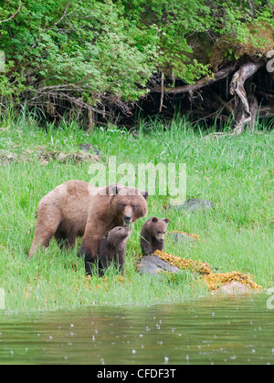 Grizzly sow ursus Arctos two cubs enjoys lush - Stock Photo