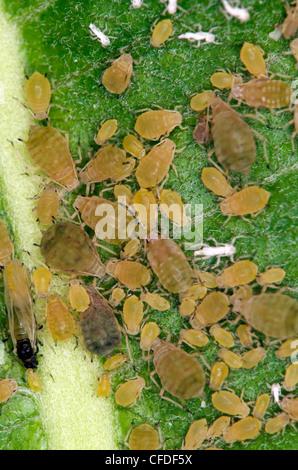 Aphids feeding on milkweed leaf. Thunder Bay. Ontario, Canada. - Stock Photo