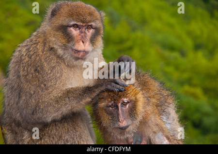 Barbary Macaques (Macaca sylvanus) grooming, Cap Carbon, Bejaia, Kabylia, Algeria, North Africa, Africa - Stock Photo