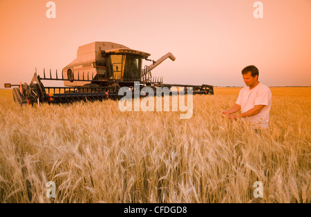 a farmer in in a mature wheat field at sunset with his combine harvester in the background, near Lorette, Manitoba, - Stock Photo