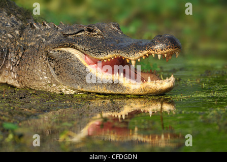 Alligator at Brazos Bend State Park, Texas, United States of America - Stock Photo