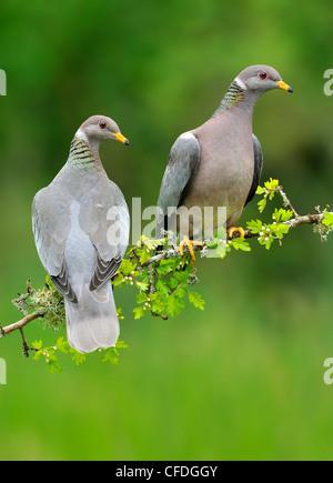 Band-tailed Pigeons (Patagioenas fasciata) on Hawthorn perch (Crataegus monogyna) Victoria, British Columbia, Canada - Stock Photo