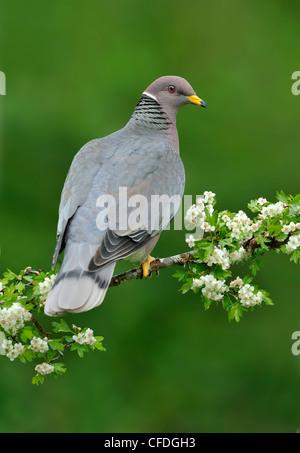 Band-tailed Pigeon (Patagioenas fasciata) on Hawthorn perch (Crataegus monogyna) Victoria, British Columbia, Canada - Stock Photo