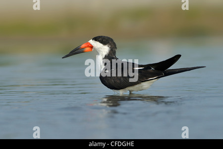 Black Skimmer (Rynchops niger) on beach at South Padre Island, Texas, United States of America - Stock Photo