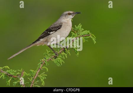 Northern Mockingbird (Mimus polyglottos) - Santa Clara Ranch, Texas, United States of America - Stock Photo