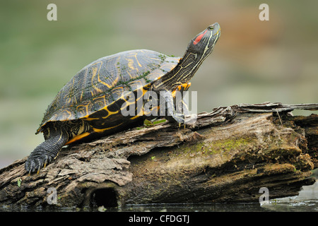 Resting turtle at Brazos Bend State Park, Texas, United States of America - Stock Photo