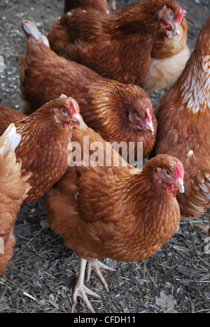 Free Range Rhode Island Red Hens - Stock Photo