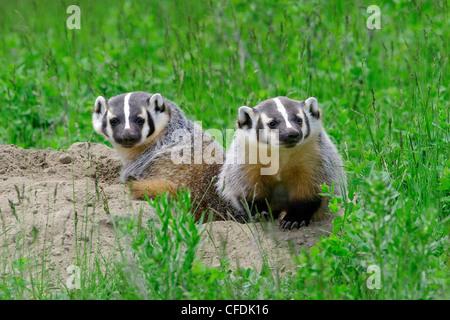 American badger kits (Taxidea taxus) at their natal burrow, central British Columbia, Canada - Stock Photo