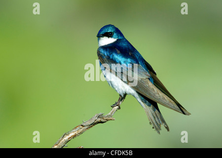 Male tree swallow (Tachycineta bicolor), Okanagan Valley, southern British Columbia, Canada - Stock Photo