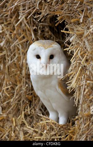 Barn owl ( Tyto alba), captive, in bales of straw, Barn Owl Centre, Gloucestershire, England, United Kingdom, Europe