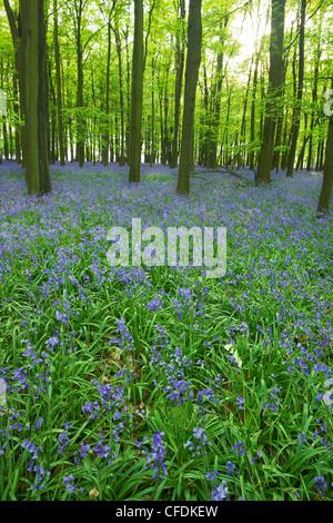 Bluebells (Hyacinthoides non-scripta) in woods, Ashridge Estate, Hertfordshire, England, United Kingdom, Europe