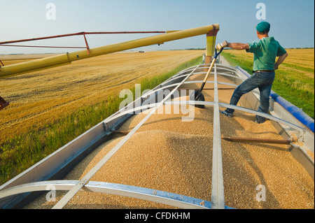 An auger loads wheat into a farm truck during the harvest, near Lorette, Manitoba, Canada - Stock Photo