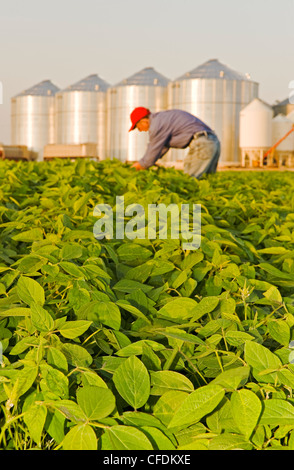 Man in mid growth soybean field, grain bins(silos) in the background, Lorette, Manitoba, Canada