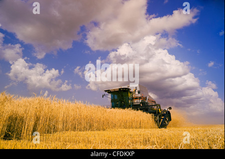 A combine harvesters works in a field of winter wheat, near Lorette, Manitoba, Canada - Stock Photo
