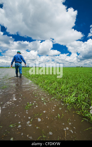 A farmer examines a flooded early growth barley field, developing storm clouds in the sky, near Niverville, Manitoba, - Stock Photo