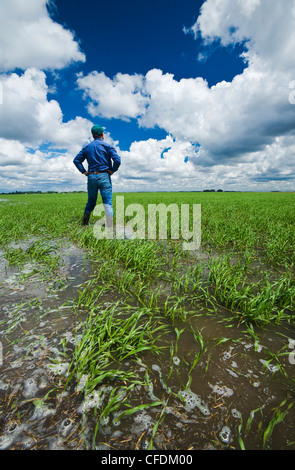 A farmer in a flooded early growth barley field, developing storm clouds in the sky, near Niverville, Manitoba, - Stock Photo