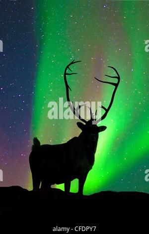 Caribou bull Rangifer tarandus silhouetted - Stock Photo