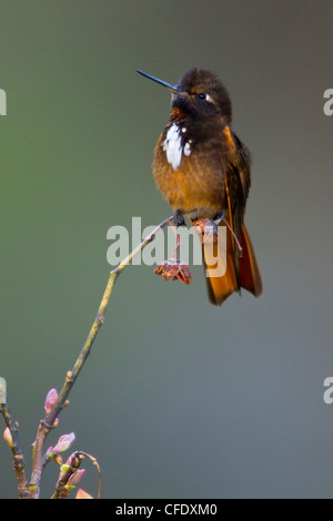 White-tufted Sunbeam (Aglaeactis castelnaudii) perched on a branch in Peru. - Stock Photo