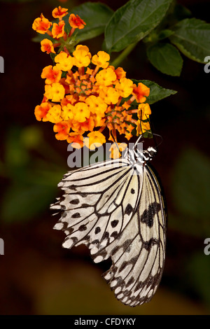 Tree nymph (rice paper butterfly) (Idea leuconoe), Butterfly World and Gardens, Coombs, British Columbia, Canada - Stock Photo
