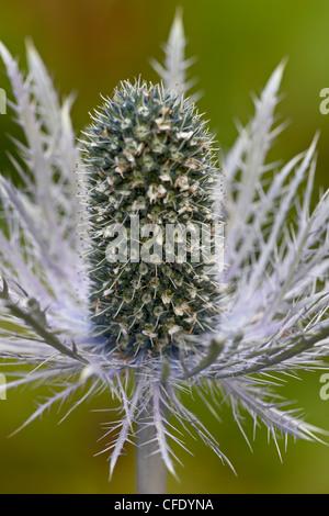 Alpine sea holly (Eryngium alpinum), Palmer, Alaska, United States of America, - Stock Photo