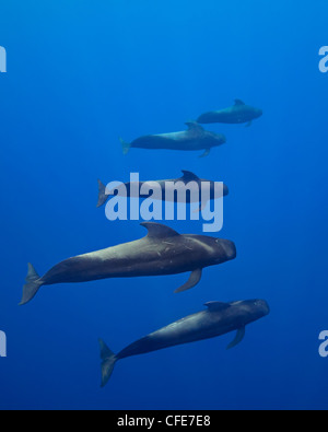 Short-finned pilot whales, open ocean - Stock Photo
