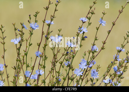 Common Chicory Cichorium intybus Rainham Marshes RSPB Reserve Essex, UK PL002157 - Stock Photo