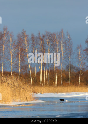 European beaver (Castor fiber) in his habitat. Europe - Stock Photo