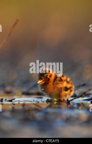 Young Black-headed Gull (Larus ridibundus) chick. Europe - Stock Photo