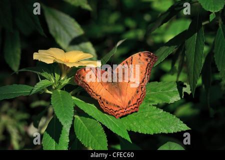 Cruiser butterfly, Vidula dejone erotella, male feeding on Turnera subulata - Stock Photo