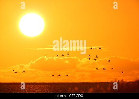 Common Cranes (Grus grus) flying over the Baltic sea at the sunset. Europe - Stock Photo