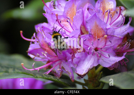 Bumblebee taking pollen from flower - Stock Photo
