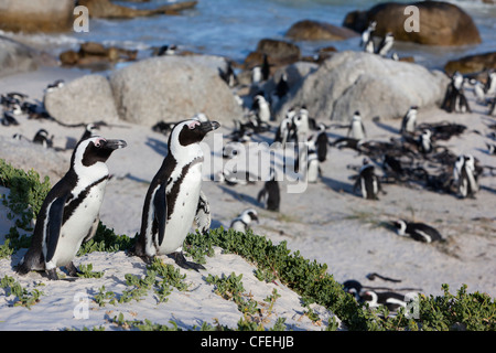 African penguins, Spheniscus demersus, Table Mountain National park, Cape Town, South Africa - Stock Photo