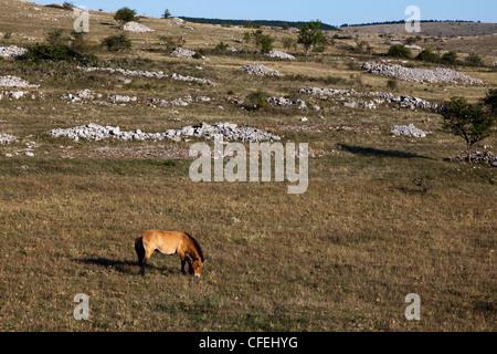 Przewalski horse, Equus ferus przewalskii, Causse Mejean limestone plateau, Lozere, France - Stock Photo